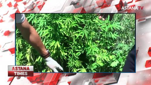 Алматы облысының тұрғыны 51 келі марихуанамен ұсталды