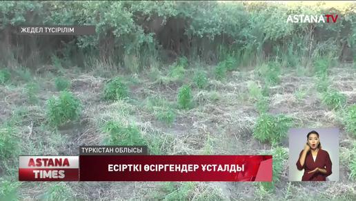 Ресей азаматы Түркістан облысында 5000 түп есірткі шөбін өсірген