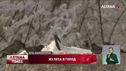 Редкий дятел поселился в Усть-Каменогорске