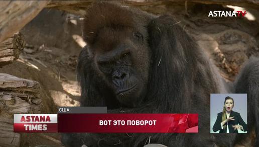 Гориллы заразились коронавирусом в зоопарке