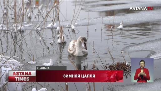 Перелётные птицы не улетели из Уральска