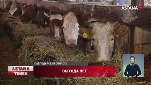 Сельчане готовятся массово вырезать скот в Павлодарской области