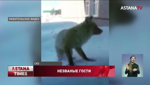 Нашествие лис: дикие звери массово уничтожают кур и кроликов в Северном Казахстане