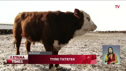 Солтүстік Қазақстан облысында түлкі сиырға шабуыл жасаған
