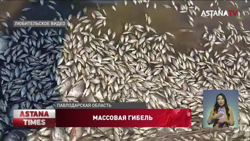 Массовый мор рыбы произошел в Павлодарской области