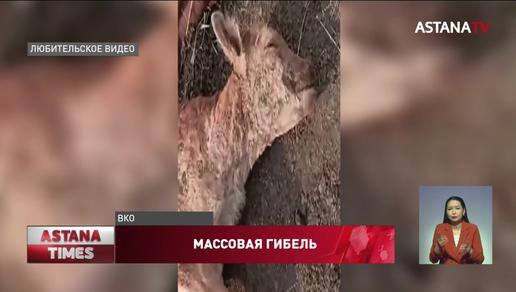 Причину загадочного падежа ягнят назвали ветеринары ВКО
