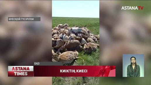 Батыс Қазақстан облысындағы киіктердің көшірілуі мүмкін