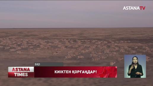 Батысқазақстандық шаруалар  киіктен зардап шегіп отыр