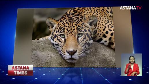 Спецкомиссия расследует причину гибели леопарда в Мангистауской области