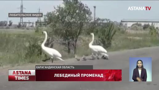 Пара лебедей с птенцами остановила автомобильное движение вблизи Шахтинска