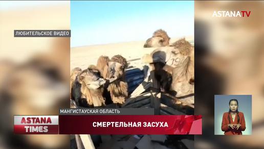 """""""Картонную диету"""" для скота прокомментировали мангистауские чиновники"""