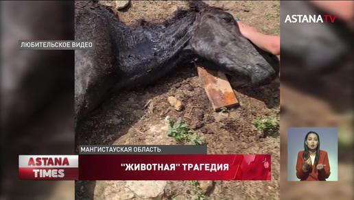 Больше тысячи лошадей погибли от голода и засухи в Мангистауской области