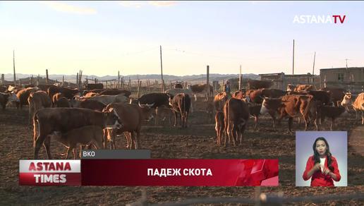 Падеж скота в ВКО: местные жители требуют Минсельхоз провести тщательное расследование