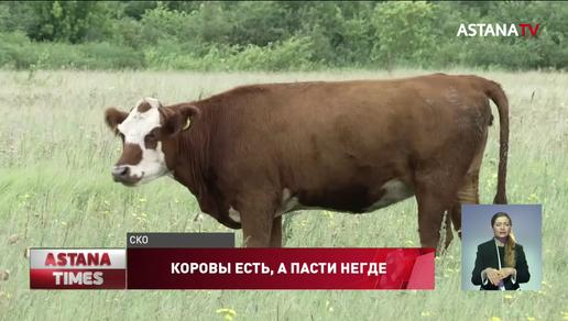 Сельчане вынуждены массово уничтожать скот в Северном Казахстане