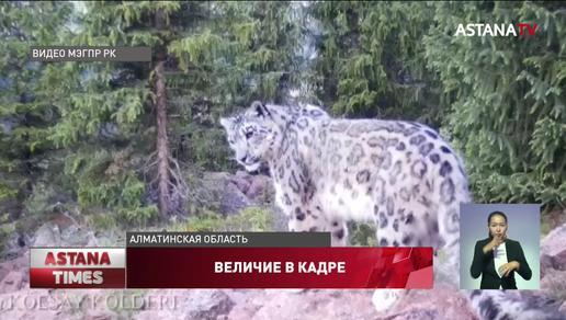 Снежные барсы попали в объектив фотоловушки в Алматинской области