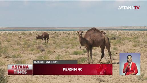 600 голов крупнорогатого скота погибло из-за засухи в Кызылординской области: объявлен режим ЧС