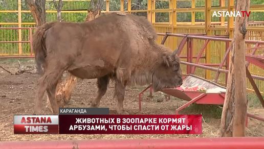 Необычный способ спасать зубробизонов от жары придумали в карагандинском зоопарке