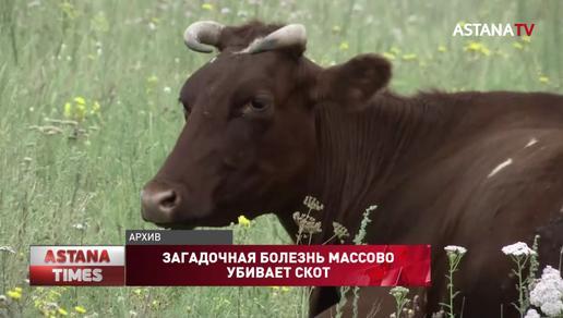 В Северном Казахстане пытаются выяснить причины массовой гибели скота
