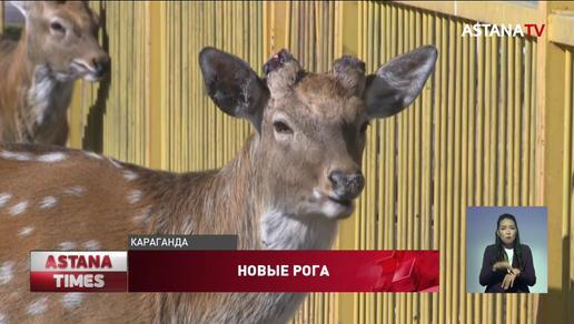 Видео с окровавленными оленями прокомментировали в карагандинском зоопарке