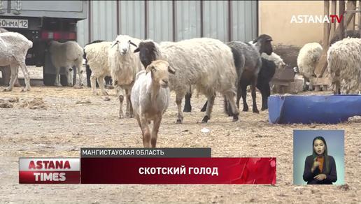 Режим ЧС из-за массовой гибели скота не будут вводить в Мангистауской области