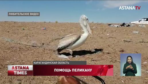 Дикий пеликан пришел за помощью к балхашским рыбакам