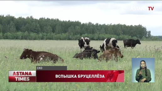 Вспышка бруцеллёза в СКО: у сельчан забирают скот и уничтожают