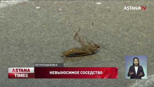 Жильцов социальных квартир атакуют клопы и тараканы в Петропавловске
